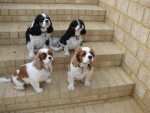 King Charles Cavalier Spanials
